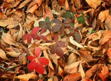 秋天背景秋天留下槭树 免版税库存图片