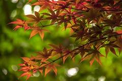 秋天背景秋天留下槭树 免版税库存照片
