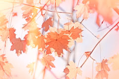 秋天背景秋天留下结构树 免版税库存图片