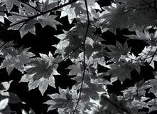 秋天背景黑色留下白色 免版税库存图片