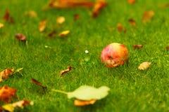 秋天背景,在地面的红色苹果在庭院里 免版税图库摄影