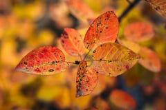 秋天背景,红色和橙色明亮的叶子 免版税库存照片