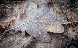 秋天背景-在树冰下的橡木叶子 免版税库存照片