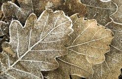 秋天背景-在树冰下的橡木叶子 免版税库存图片