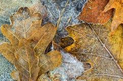 秋天背景-在树冰下的橡木叶子 库存照片