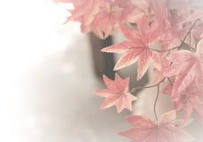 秋天背景离开透镜做的槭树照片特殊 背景的红槭叶子 库存照片