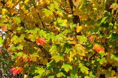 秋天背景离开透镜做的槭树照片特殊 黄色和红色叶子纹理 免版税库存照片