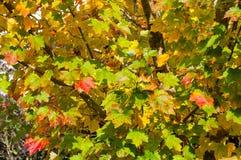 秋天背景离开透镜做的槭树照片特殊 黄色和红色叶子纹理 库存图片