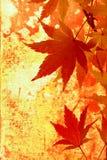 秋天背景grunge鸡爪枫 库存照片