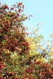 秋天臀部上升了 免版税图库摄影