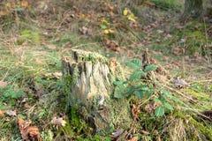 秋天自然-树桩 库存图片