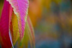 秋天自然-桃红色和绿色叶子和五颜六色的背景的详细的图片 免版税图库摄影
