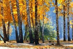 秋天色的桦树 免版税库存照片