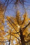 秋天色的金结构树 库存图片