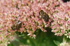 秋天花和两beies 在花的蜂 在fl的两beies 库存照片