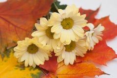 秋天花和槭树和橡木被染黄的叶子  菊花背景  免版税库存图片