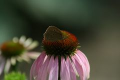 秋天花在庭院,海胆亚目Purpurea里 免版税库存照片