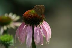 秋天花在庭院,海胆亚目Purpurea里 免版税库存图片