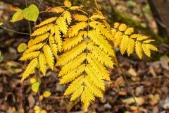 秋天花揪黄色叶子在焦点 免版税库存图片