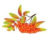 秋天花楸浆果 库存照片