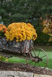 秋天花,绽放的妈咪 图库摄影