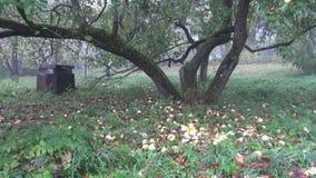秋天苹果树树干和苹果在遗弃庭院里 股票视频