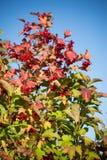 秋天荚莲属的植物 库存照片