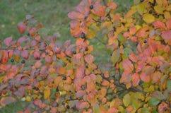 秋天莓果和叶子在布什的分支 库存照片