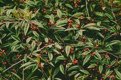 秋天莓果纹理 库存照片