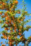 秋天莓果 库存图片