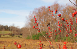 秋天莓果 库存照片