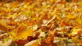 秋天落的叶子特写镜头 股票录像