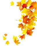 秋天落的槭树叶子 库存图片