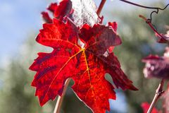 秋天葡萄叶子 库存照片