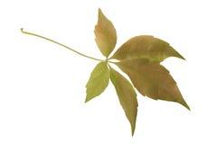 秋天葡萄叶子 库存图片