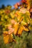 秋天葡萄园叶子 库存图片