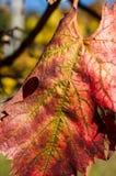 秋天葡萄园叶子 免版税图库摄影