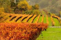 秋天葡萄园在纳帕谷 免版税图库摄影