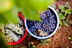 秋天葡萄收获 库存照片