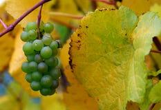 秋天葡萄gris白比诺葡萄 库存照片