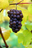秋天葡萄gris白比诺葡萄 库存图片