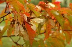 秋天蓝色上色绿色槭树橙黄色 库存图片