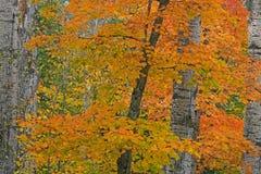 秋天蓝色上色绿色槭树橙黄色 免版税图库摄影