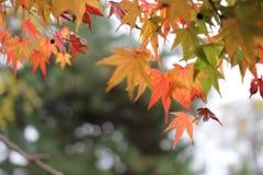秋天蓝色上色绿色槭树橙黄色 免版税库存图片