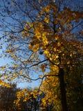 秋天蓝色上色绿色槭树橙黄色 免版税库存照片