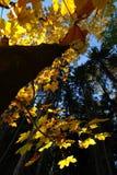 秋天蓝色上色绿色槭树橙黄色 库存照片