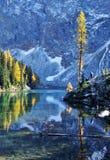 秋天蓝色金黄湖落叶松属树 库存图片