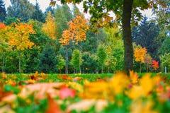 秋天蓝色长的本质遮蔽天空 五颜六色的树在公园 秋天背景特写镜头上色常春藤叶子橙红 秋天场面 免版税图库摄影