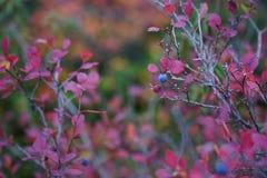 秋天蓝莓 库存照片
