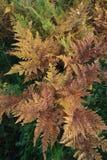 秋天蕨,自然本底 免版税库存照片